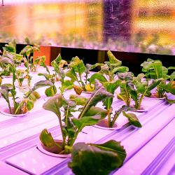 Thumbnail-Photo: Indoor-grown greens across Albertsons' California stores...
