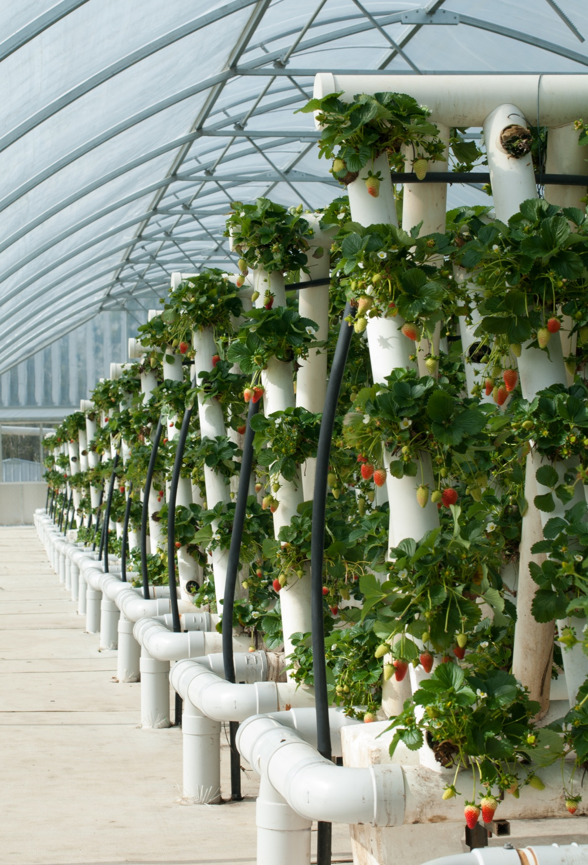 A greenhouse with vertical rails on which plants grow...